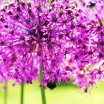 Allium 'Purple Sensation' in full flower  and adored by bee's.
