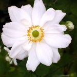 Anemone x hybrida 'Whirlwind' . A wonderful autumn flowering perennial to brighten a shaded position.