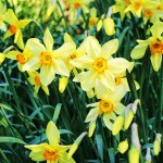 A form of Poets narcissi, cultivar unknown - a striking late form with soft yellow, windmill petals.