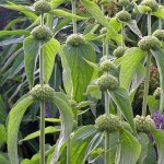 The extraordinary form of Phlomis russeliana pre flowering. Whorls of yellow hooded flowers will add to the spectacle.