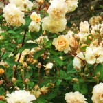 Given a little space and training the branches using a box frame, Rosa 'Buff Beauty' will flower for months.