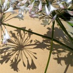 Agapanthus 'Arctic White' create beautiful shadows on a stone sphere.