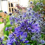 Large heads od the tough Agapanthus 'Headborne Hybrids' are softens by the electric blue bobbles of Eryngium planum in September.